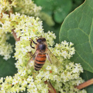 honey bee on knot weed